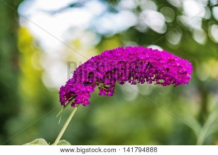 Blooming Purpur Buddleia Davidii Plant In Summer Garden Against Bokeh Background