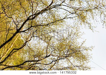 Upside View Birch Tree In Spring Against Cloudy Sky Background
