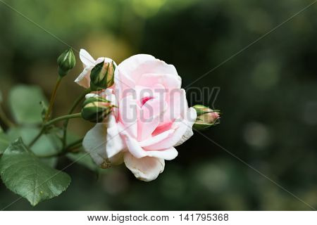 Focus Title Englisch Front View Head Of Romantic Blush Rose Against Blurred Background
