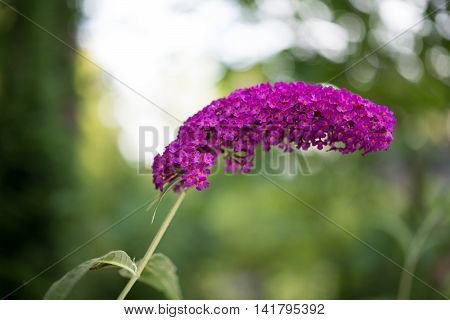 Focus Title Blooming Purpur Buddleia Davidii Plant In Summer Garden Against Bokeh Background