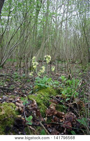 Oxlip (Primula elatior) flower in springtime in a wood with a background of young coppiced trees. A nationally scarce plant but often found in woods in East Anglia.