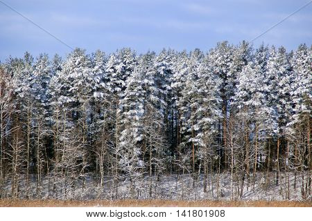 Snow on the branches of the trees