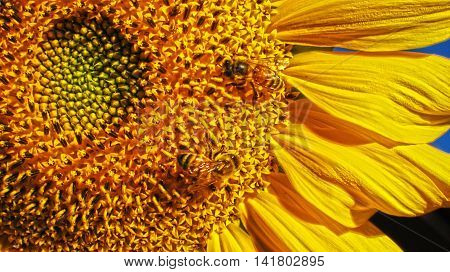 Hungry honey bees on a large sunflower
