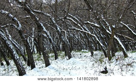 Twisted blackened trees covered in fresh snow