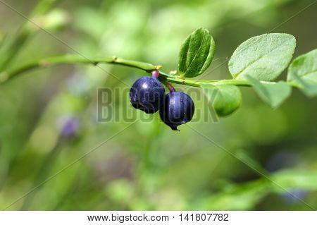 Fruits of the European blueberry (Vaccinium myrtillus)