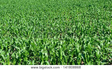 Corn field background. Top view.