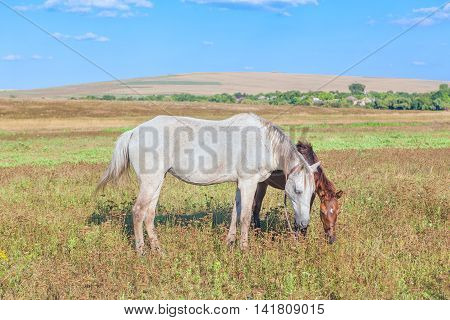 mare and foal grazing on the meadow