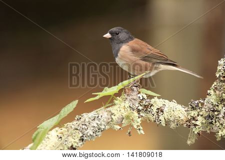 A Dark-eyed Junco resting on the knob of a perch in central California.