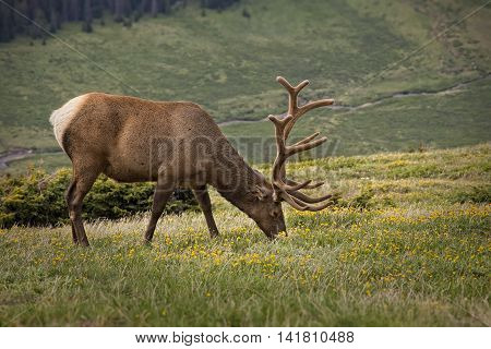 Grazing Bull Elk, Rocky Mountain National Park, Colorado, USA