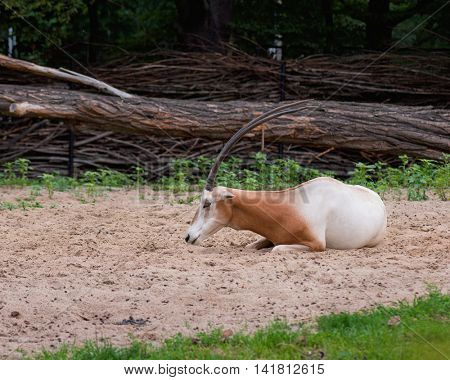 Scimitar-Horned Oryx relaxing in zoo. Magnificent Oryx eating grass.