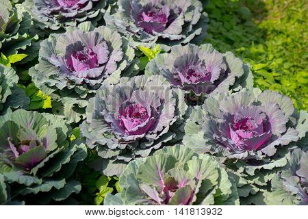 Close up Red cabbage growing in the garden