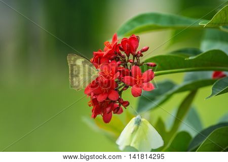 Yellow Butterfly on a red flower. red Jatropha integerrima flower Peregrina or Spicy Jatropha