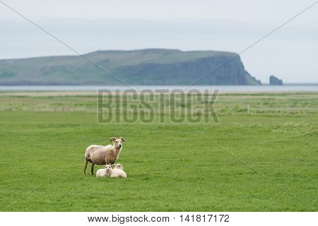 Three white sheep on pasture. Field with green grass in Iceland. View of Cape Dyrholaey on the southern coast, not far from the village V�­k