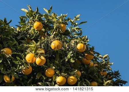 grapefruit tree with ripe grapefruits against blue sky