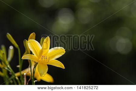 Yellow Lily, Lilly Flower. Droplets on the bloom with buds on the blurred background. Fly in the flower.
