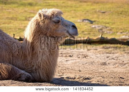 Camel resting in a clearing in the wild