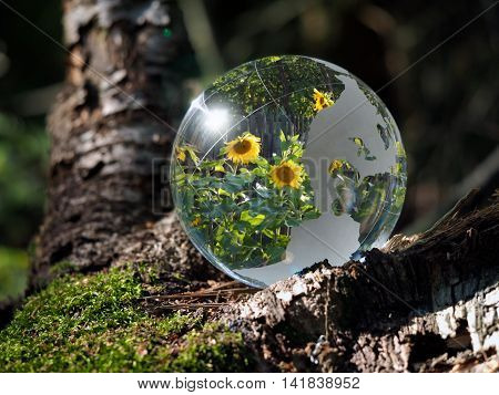 Flowers sunflowers reflected in a transparent bowl. Sphere in the woods on moss. The concept of environment gardening ecology