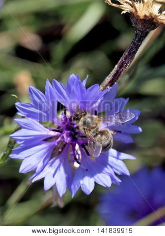 Bee close up on a blue flower collecting pollen to make honey.