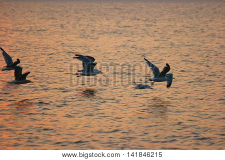 Flying Seagulls on Sunset Fly Away over sea surface.