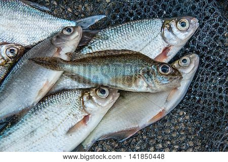 Eurasian Ruffe On The Pile Of Freshwater Common Bream Fish And Silver Bream Or White Bream Fish On G