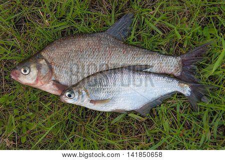 Several Common Bream Fish And Silver Bream Or White Bream Fish On Green Grass.