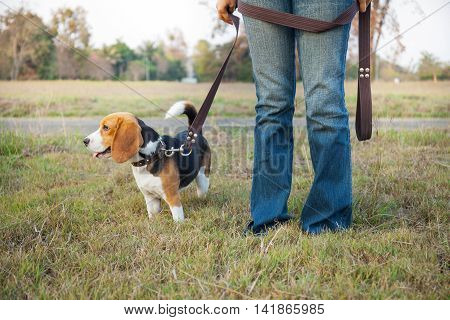 Beagle walk on long lead at the park