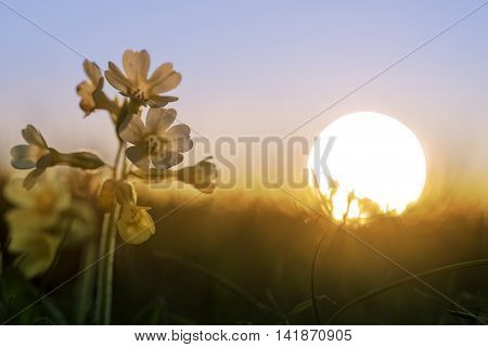 Cowslip Flowers In Golden Sunset Mood