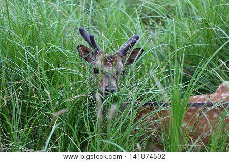 A young fallow deer (Dama dama) hidden in grass.