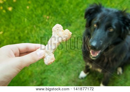 Dog eats homemade biscuits from oat. Healthy food.