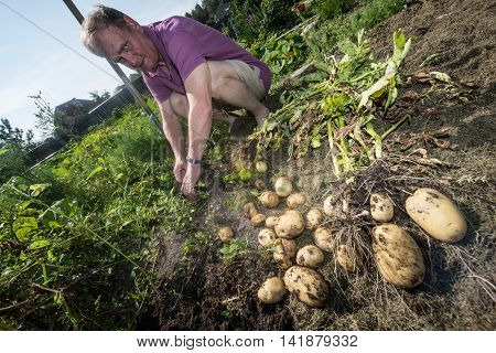 An elderly bald man 70-75 years enumerates potatoes grown on their own garden plot on a lovely summer day.