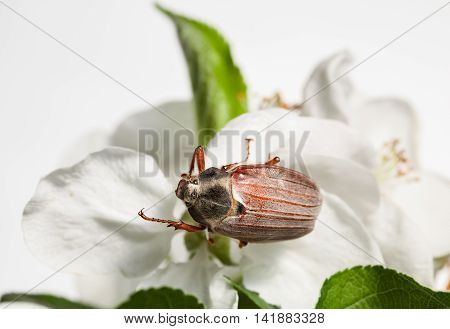 Cockchafer On Blooming Apple Tree
