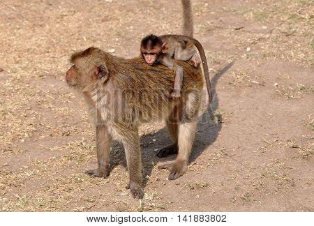 Baby monkey riding on its mother's back at Wat Phra Prang Sam Yot