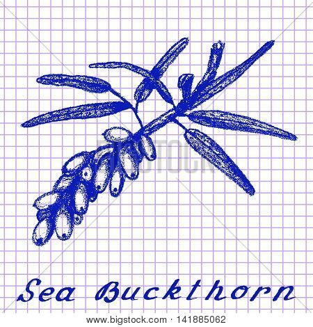 Sea buckthorn. Botanical drawing on exercise book background. Vector illustration. Medical herbs