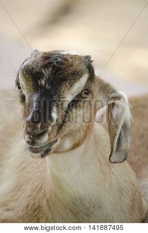 Brown Domestic Goat