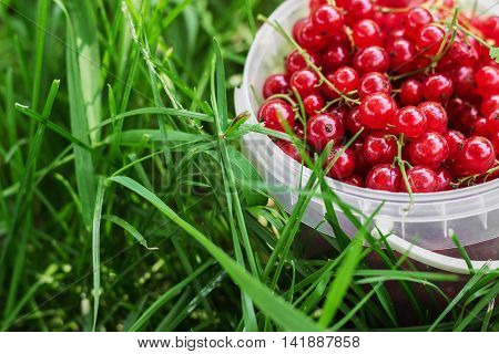 Red currant berries just gathered in plastic can on green grass