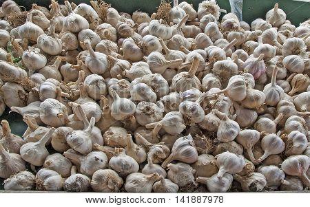 Fresh organic garlic at the market for sale
