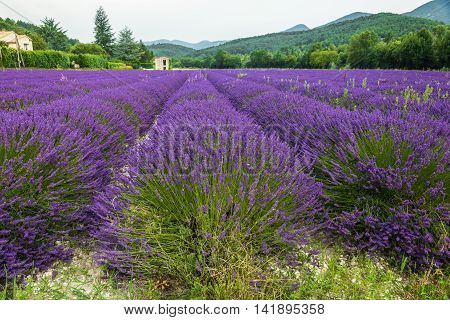 Lavender field in high Provence of France