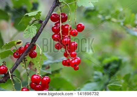 Berries of a red currant (Ribes rubrum) on a bush.