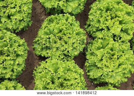 Background Of Green Leaves Of Lettuce
