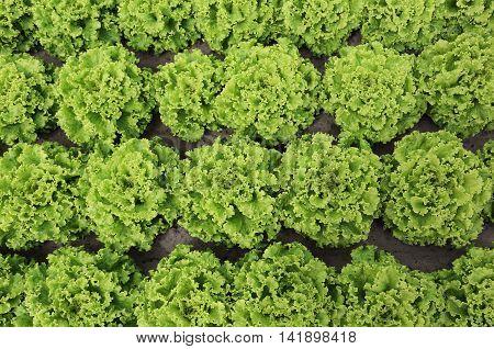 Background Of Lush Green Of Lettuce