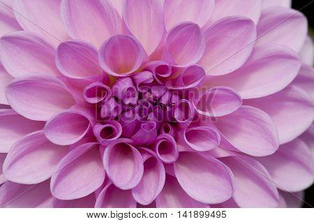 Close up of a pink dahlia pompom flower