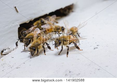 The bees at front hive entrance honeycomb in a wooden frame