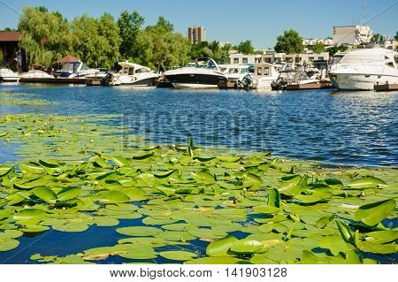Blossoming Water-lily. Yellow Water lily on river. Boat in background.