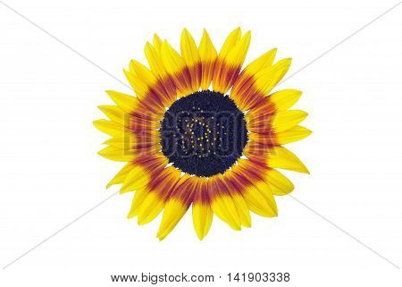 Sunflower blossom isolated on a white background