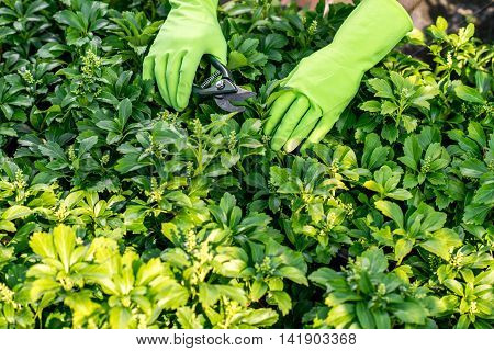 Male hands in the green working gloves pruning plants with scissors.