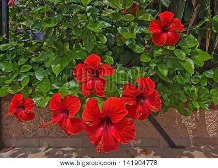 Red hibiscus Hibiscus sinensis flowers closeup Mallorca Spain