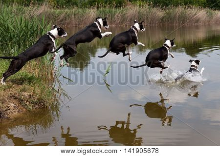 American Staffordshire Terrier jumping in a pond