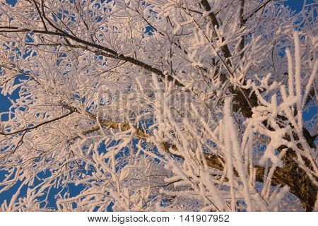 Winter scene with snow-covered branches of trees during sunrise