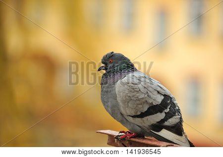 A close-up of a grey rock pigeon (Columba livia)