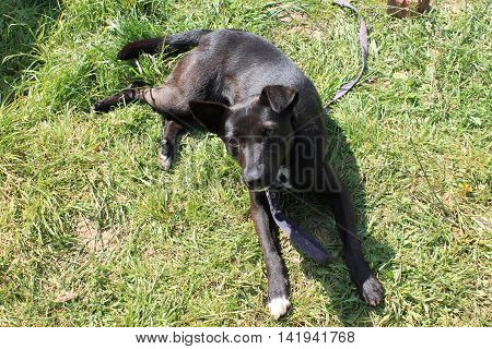 beautiful black dog lying on green grass and basking in the warm sun